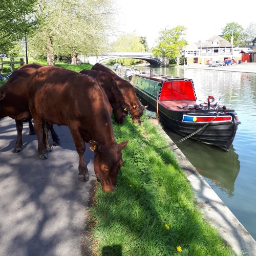 Cows on the bank of the River Cam