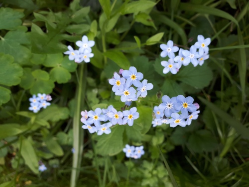 Cambridge Forget Me Nots