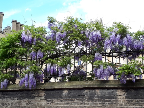 Cambridge wisteria