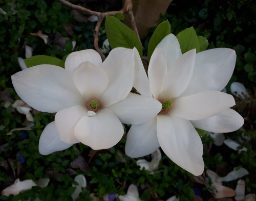 Cambridge magnolia