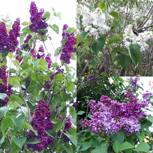 Cambridge lilac