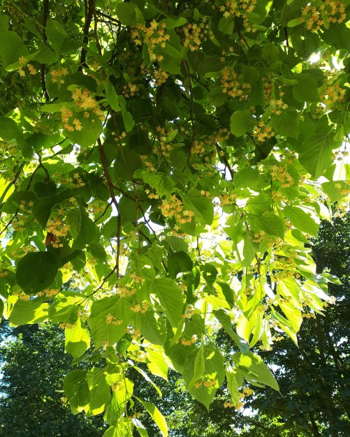 Linden tree Cambridge