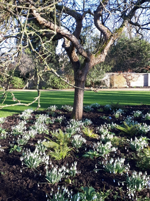 Snowdrops at Cambridge University Botanic Garden