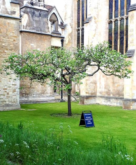 Newton's apple tree at Trinity College Cambridge