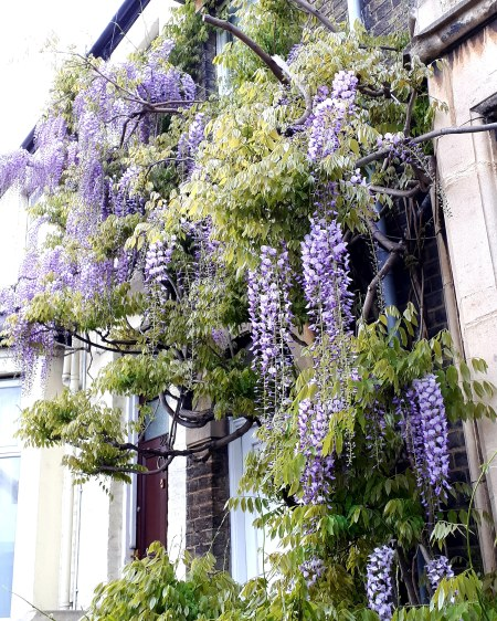 Wisteria in Cambridge