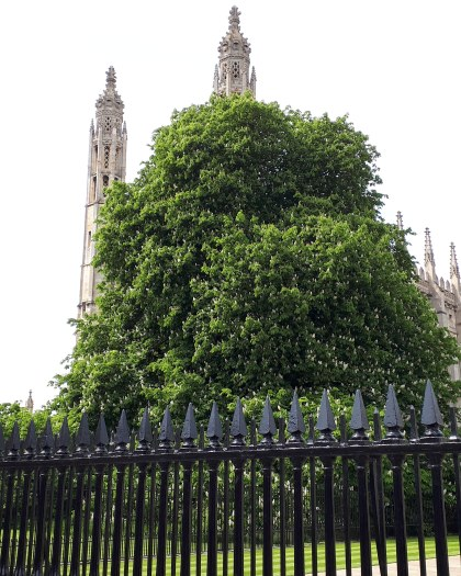 Chestnut tree at King's College Cambridge