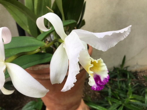 Cattleya_trianae (3)